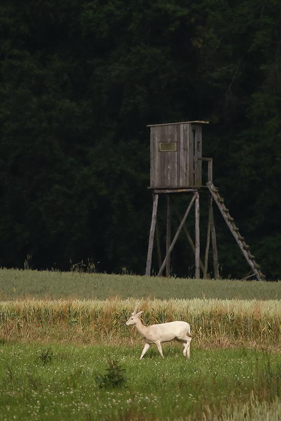 Damwild, Wild, Jagd, Jäger, Wildbret, Wildfleisch, Fabian Grimm, Kochen, Rezept, Damspießer