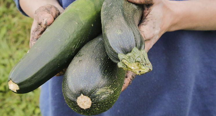 Rezept für Zucchini, gefüllt mit Rehhack und Semmelstoppelpilzen