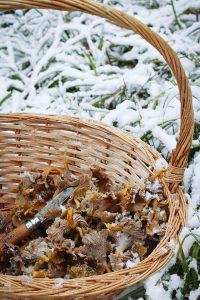 Pilz, Pilze sammeln, Sammeln, Pfifferling, Rezept, Reh, Curry, Gelbstieliger Trompetenpfifferling