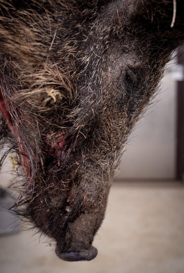 Dem Steak in die Augen sehen: der Kopf eines toten Wildschweins.