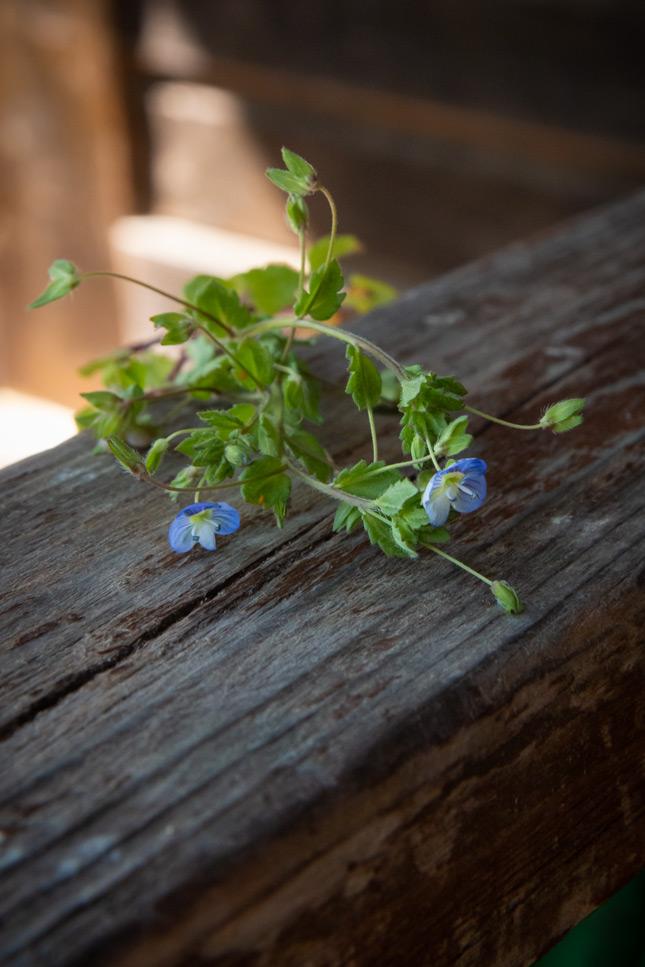 Ehrenpreis oder Gewitterblümchen, ein essabres Wildkraut