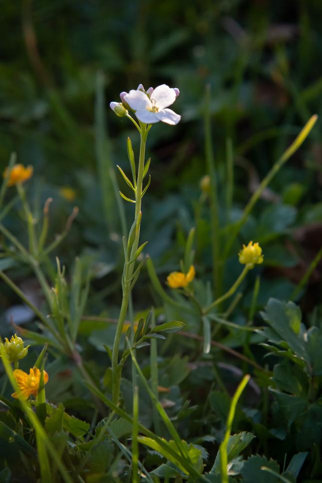 Wiesenschaumkraut, eine essbare Wildpflanze